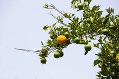 Arbre orange avec des fruits Image libre de droits