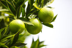 Arbre orange avec des fruits Photographie stock libre de droits