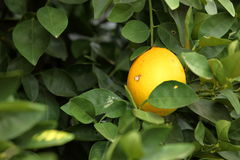 Arbre orange avec les oranges mûres Photo libre de droits