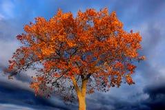 Arbre orange brûlant, ciel foncé Photos stock