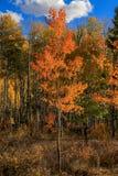 Arbre orange d'Aspen dans la forêt photo libre de droits