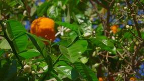 Arbre orange de floraison banque de vidéos