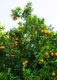 Arbre orange fruit de jardin Photographie stock