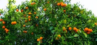 Arbre orange fruit de jardin Photos libres de droits