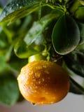 Arbre orange à la maison Photos libres de droits