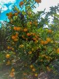 Arbre orange luxuriant avec les fruits juteux dans le jardin image stock