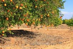 Arbre orange mûr Image libre de droits