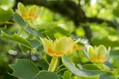 Arbre ornemental de tulipifera de Liriodendron bel en fleur photo stock