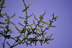 Arbre peu commun avec les fleurs jaunes Images libres de droits