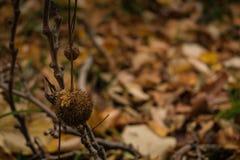 Arbre plat et sa graine de forme de boule dans les bois images libres de droits