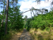 Arbre plié au-dessus d'un chemin forestier Photographie stock libre de droits