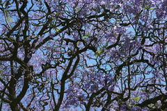 Arbre pourpré de Jacaranda Photo stock