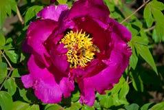 Arbre pourpre de pivoine de fleur Photos stock
