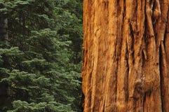 arbre proche de redwwod de forêt vers le haut Photos libres de droits