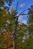 Arbre ratatiné sur un fond de forêt d'automne images libres de droits