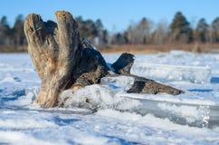 Arbre retenu par les glaces. Photos libres de droits