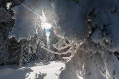 Arbre rimé dans la forêt Photos libres de droits