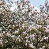 Arbre rose-clair de magnolia photo libre de droits