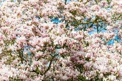 Arbre rose-clair de magnolia dans le jardin anglais images libres de droits