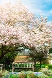 Arbre rose-clair de magnolia dans le jardin anglais image libre de droits