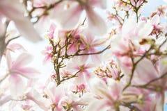 Arbre rose-clair de magnolia dans le jardin anglais photos libres de droits