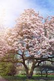 Arbre rose-clair de magnolia dans le jardin anglais image stock
