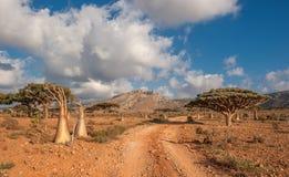 Arbre rose de désert, île d'île de Socotra, Yémen Photo stock