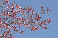 Arbre rose de fleur de ressort images stock