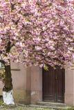 Arbre rose de floraison de Sakura sur les rues d'Uzhgorod Photos stock