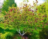 Arbre rose de magnolia Image libre de droits