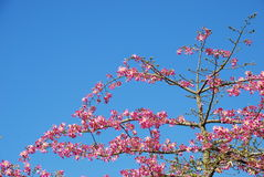 Arbre rose de weigela (fond de ciel) Photos libres de droits