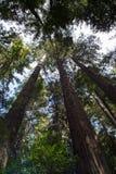 Arbre rouge énorme chez la Californie Images stock