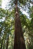Arbre rouge énorme chez la Californie Photographie stock libre de droits