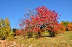 Arbre rouge d'automne Photos stock