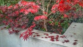 Arbre rouge d'automne Photographie stock