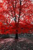 Arbre rouge dans le paysage noir et blanc Images libres de droits