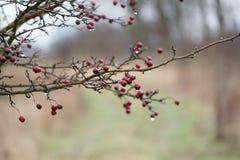 Arbre rouge de baies de forêt Photos libres de droits
