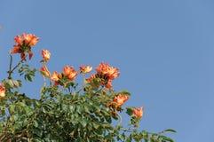 Arbre rouge de fleur sauvage Images libres de droits