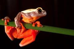 arbre rouge de grande de yeux d'Amazone de forêt pluie de grenouille tropical Photo libre de droits