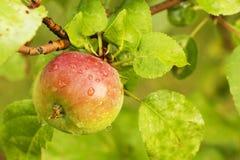 arbre rouge de plan rapproché de pomme petit photographie stock libre de droits