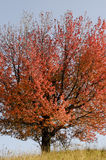 Arbre rouge en automne Photos stock