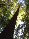 Arbre rouge grand dans la forêt Photo stock