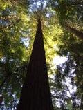Arbre rouge grand dans les bois Image libre de droits