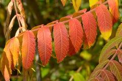 Arbre rouge vibrant audacieux des feuilles de ciel (altissima d'Ailanthus) images stock