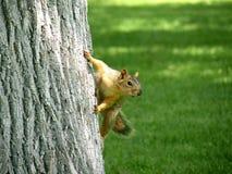Arbre s'élevant d'écureuil Photos stock