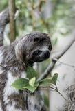 Arbre s'élevant de paresse de Brown de variegatus throated de Bradypus Photos libres de droits