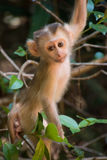 Arbre s'élevant de singe de bébé Photos libres de droits