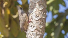 Arbre s'élevant tacheté de Mousebird photo libre de droits