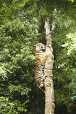 Arbre s'élevant de tigre Images stock