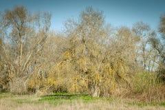 Arbre sans feuilles Image stock